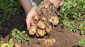Comment planter des pommes de terre jardin potager jardin potager - Planter des pommes de terre ...