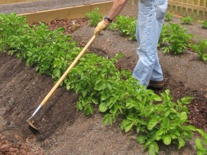 comment planter patate