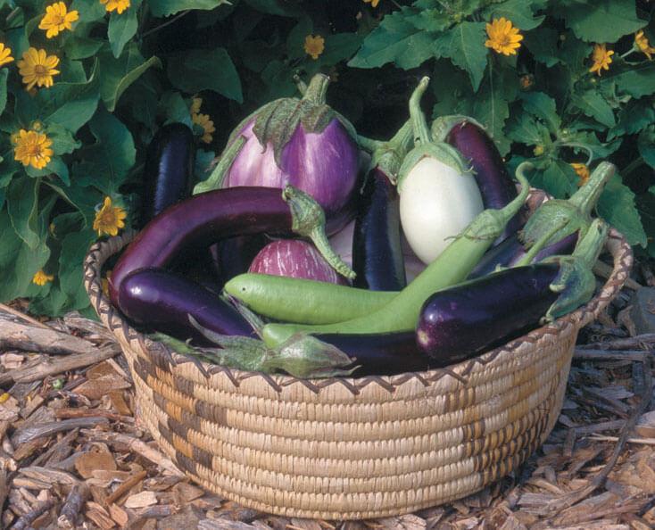 Comment faire pousser des aubergines ?