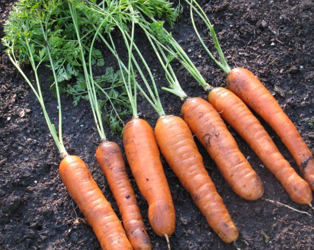 Comment faire pousser des carottes à partir de graines