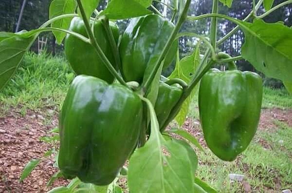 Comment faire pousser du poivron partir de graines jardin potager jardin potager - Comment planter des poivrons ...