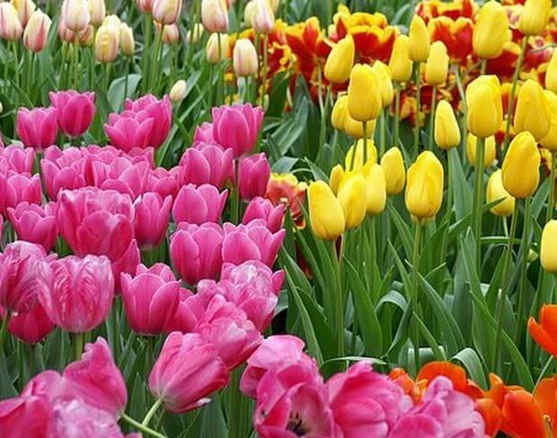 plantation oignons de tulipes